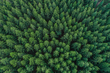 Aerial view of green conifer treetops in forest, Germany