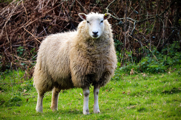 Devon sheep in a field
