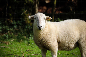 Devon sheep in a field