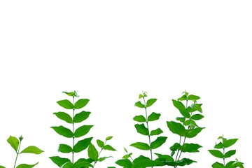 Tropical plant leaves with twigs on white isolated background for green foliage backdrop
