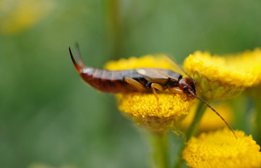 Insekt - Ohrwurm