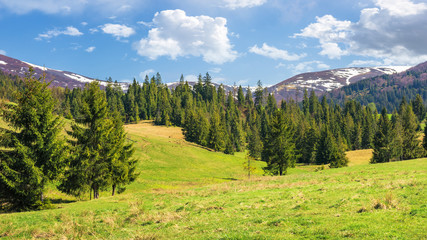 beautiful springtime landscape in mountains. spruce forest on the grassy hills. spots of snow on the tops of distant ridge. sunny weather with fluffy clouds on the blue sky