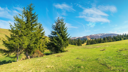 beautiful springtime landscape in mountains. spruce trees on the grassy meadow. spots of snow on the tops of distant ridge. sunny weather with fluffy clouds on the blue sky