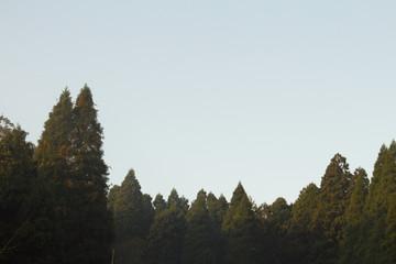 夜明けの杉林