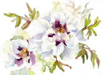 Two white Peonies flowers,hand drawn .Watercolor sketch
