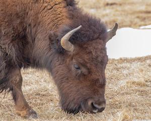 Fototapeta American Bison grazing in Rocky Mountain Arsenal Colorado