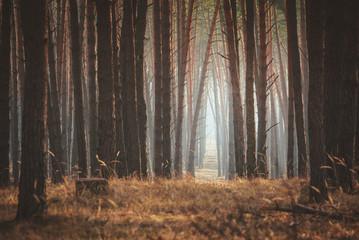 Beautiful empty misty pine forest