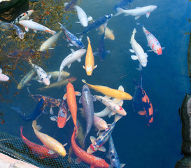 Poster Submarine peces koi en estanque