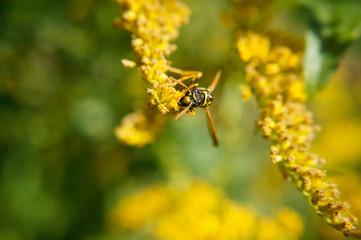 Insekt - Feldwespe