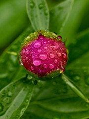 Peony bud with water dropplets