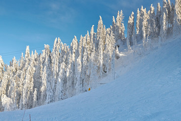 Pine forest covered in snow on winter season,Mountain landscape in Poiana Brasov, Transylvania,Romania