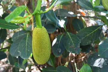 Young Jackfruit on the tree,Fruit tastes good of the tropical zone