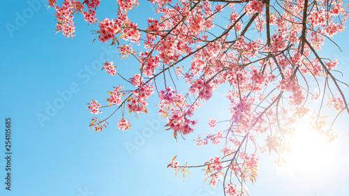 Wall mural Beautiful sakura flower (cherry blossom) in spring. sakura tree flower on blue sky.