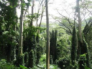 Hawaii Jungle