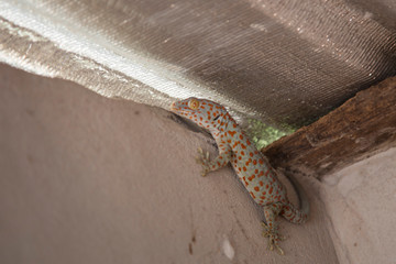 Scary animal geckos in the house.