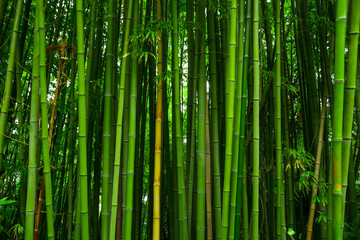 Poster Bamboe Beautiful bamboo texture background. Green asian plants.