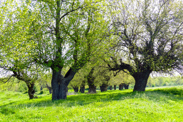 Mulberry trees with young leaves on a green meadow. Sunny Spring Day. Resting place under the shade of the trees.