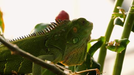 Close up video of green iguana