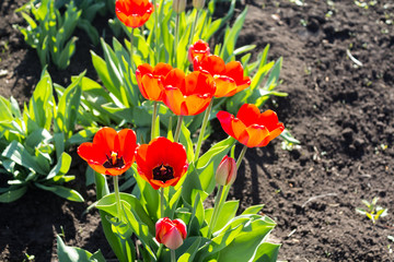 Red flowers and Tulip buds with green leaves in the garden, horizontal background