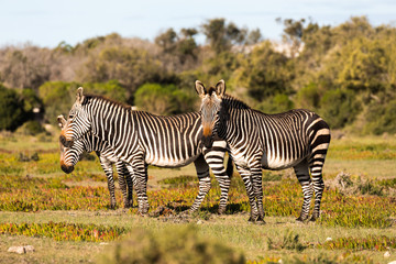 Mountain Zebra, Equus zebra, in the De Hoop national reserve, South Africa