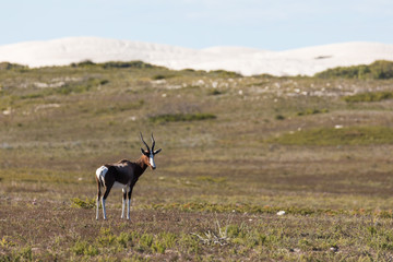 Sole Bontebok and white sand dunes in De hoop nature reserve, South africa