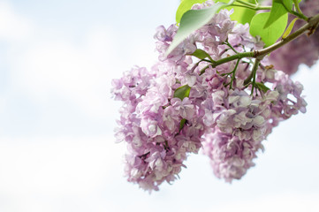 Branch of lilac lilies on a background of bright blue sky. Horizontal photography