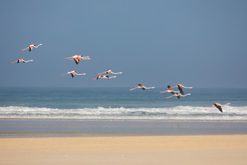 Flamingos in the De Mond coastal nature reserve, South Africa