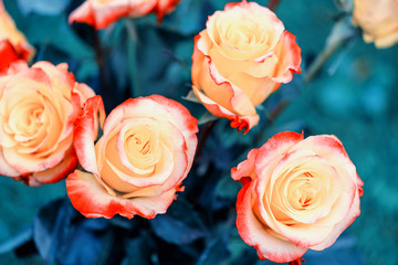 Live coral color flowers. Coral rose close up. Floral background of blooming roses, coral color.