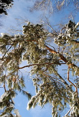 a pine tree in snow