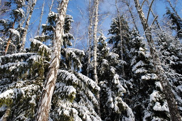 snow covered christmas trees in forest