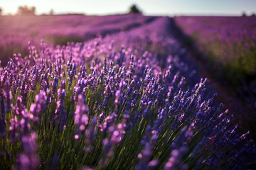Field of lavender flowers, blossoming plant