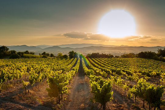 Vineyard at sunset. A plantation of grapevines. Hilly mediterranean landscape, south France, Europe