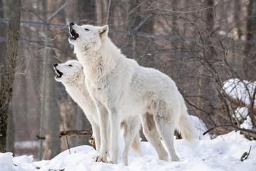 Photo sur Plexiglas Loup Wolf Song