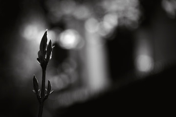 Budding shrub in early spring. Black and white