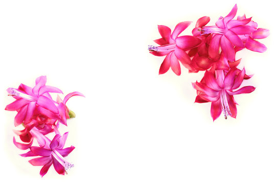 Bright pink Schlumberger flowers  Christmas cactus ripsalidopsis isolated on white background