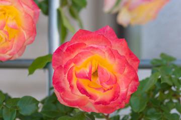 満開のバラ 赤黄色