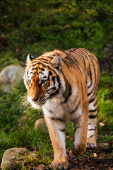 An adult tiger walking in a green forest