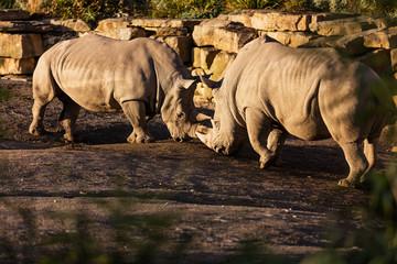 Two rhinos fighting in dust at sundown in Dublin City Zoo, Ireland