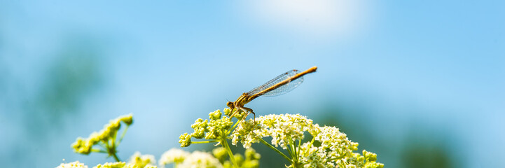 dragonfly sits on a yarrow flower and collects nectar and pollen against a blue sky.