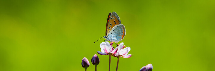 butterfly collects nectar and pollen from a flower on a blurred green background on a sunny day.