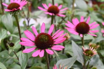 Roter Sonnenhut Echinacea purpurea Gartenpflanze pink winterhart Heilpflanze Kraut