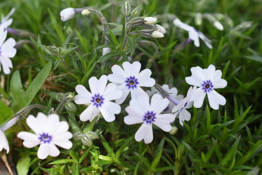 Teppichphlox Phlox Bavaria Blau weiß Gartenpflanze Steinpflanze winterhart Bodendecker Frühlingsblüher