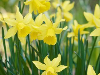 Papiers peints Narcisse Gros plan sur des fleurs de narcisses ou jonquilles jaune (Narcissus pseudonarcissus)