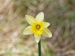 Photo sur Plexiglas Narcisse Gros plan sur un narcisse ou jonquille jaune (Narcissus pseudonarcissus)