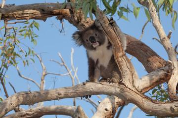 koala bear climbing in tree