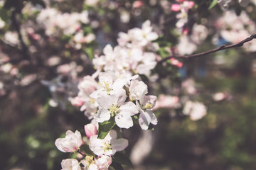 Blooming branch of Apple tree with white flowers in garden