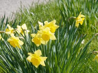 Papiers peints Narcisse Narcissus pseudonarcissus - Floraison champêtre de narcisses ou jonquilles jaunes solitaires sur de longues tiges vertes
