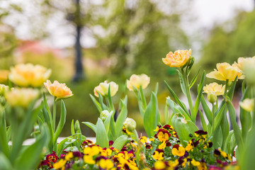 Vintage tulip, yellow toned nature scenery in park with blurred background