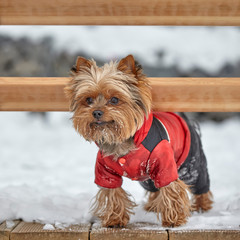 Yorkshire terrier standing in the snow