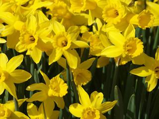 Photo sur Plexiglas Narcisse Narcissus pseudonarcissus - Narcisses ou Jonquilles jaunes appelés Narcisses trompette aux tépales en étoile jaune clair autour d'une longue couronne